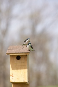 Tree Swallows on Nesting Box.